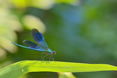 Dragonfly in forest Royalty Free Stock Images