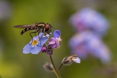 Dragonfly on a forget-me-not flower. royalty free stock photos