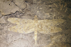 Dragonfly fossil. The close-up of dragonfly fossil royalty free stock photos