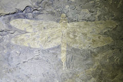 Dragonfly fossil Stock Image