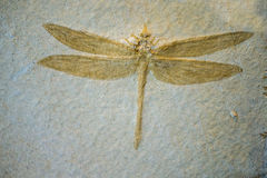 Dragonfly Fossil. On sand stone background stock image