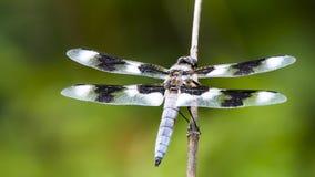 dragonfly gałązka Zdjęcie Royalty Free