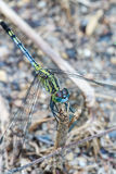 Dragonfly. In Gardan of Thailand Stock Photography