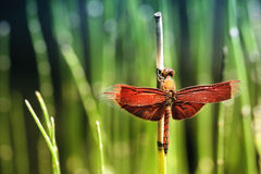 Dragonfly in the garden Royalty Free Stock Photo