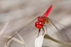Dragonfly in garden royalty free stock photo