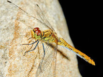 Dragonfly in the garden on a rock Stock Images