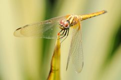 Dragonfly in a garden Royalty Free Stock Photo