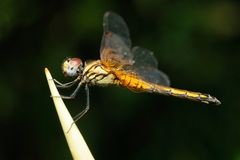 Dragonfly in a garden Royalty Free Stock Images