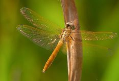 Dragonfly golden. Macro of Dragonfly on perch Royalty Free Stock Photos