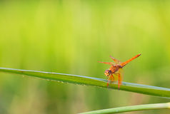Dragonfly on grass Stock Photography