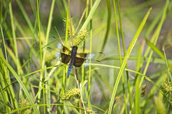Dragonfly in the Grass Royalty Free Stock Image