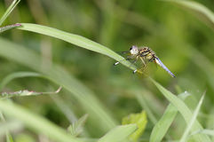 A dragonfly on the grass Stock Photography