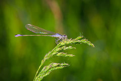 Dragonfly is on the grass Stock Image