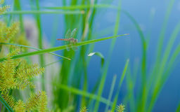 Dragonfly on the grass. Royalty Free Stock Image