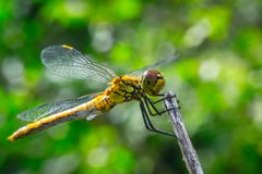 Dragonfly on a grass background Stock Image