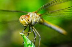 Dragonfly on a grass background Stock Images