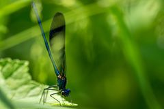 Dragonfly on grass. Blue Dragonfly on grass on meadow macro photography royalty free stock image