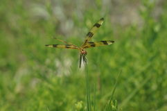 Dragonfly in the grass Stock Photography
