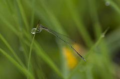 Dragonfly on a grass with dews. A dragonfly enjoy on the grass that has dews Stock Images