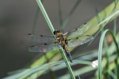 Dragonfly on the grass Royalty Free Stock Images
