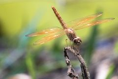 Dragonfly and grass flower. Closeup in the morning royalty free stock photo