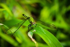 Dragonfly on Grass Stock Images