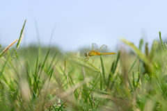 Dragonfly on grass Royalty Free Stock Photography