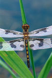 Dragonfly on Grass Leaves Stock Photos