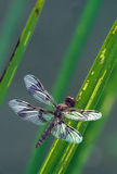 Dragonfly on Grass Leaves Royalty Free Stock Photos