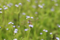Dragonfly grass Royalty Free Stock Photography