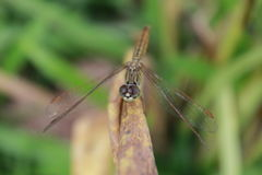 Dragonfly grass Stock Images