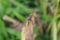 Dragonfly grass Royalty Free Stock Image