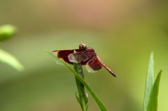 Dragonfly on grass Stock Image