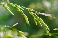 Dragonfly on a grass Stock Photos