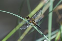 Dragonfly on the grass Royalty Free Stock Photo