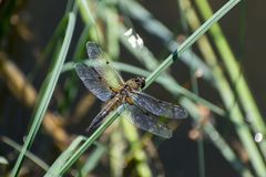 Dragonfly on the grass Stock Images