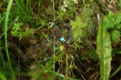 Dragonfly in grass Stock Image