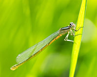 The dragonfly on grass Stock Image