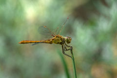 Dragonfly on grass Royalty Free Stock Images