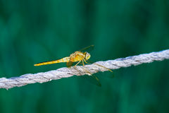 Dragonfly in the green background Royalty Free Stock Photos