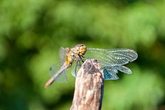 Dragonfly with green background Royalty Free Stock Photo