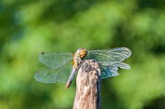 Dragonfly with green background Royalty Free Stock Images