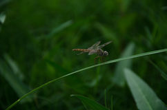 Dragonfly,green background,grass. Picture dragonfly on green background Royalty Free Stock Photo