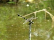 Dragonfly on green background of a swamp stock photos