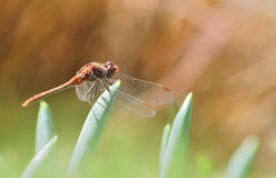 Dragonfly on green and brown Royalty Free Stock Image