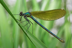 Dragonfly on a green grass Royalty Free Stock Photos