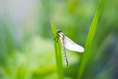 Dragonfly on green grass Royalty Free Stock Photo