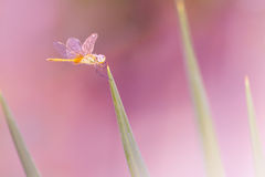 Dragonfly on green grass over pink backgorund Stock Photos