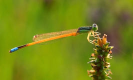 Dragonfly on green grass stem Royalty Free Stock Images