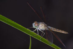 Dragonfly on green grass stem Stock Images
